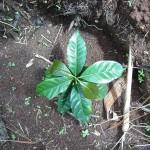 Neugepflanzter Kaffeepflanze